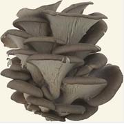Вешенки. Свежий гриб вешенка объемом до 1тонны/сутки от производителя. ОПТ. фото