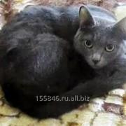 Котёнок Кошка чисто серая молодая фото