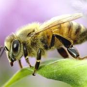 Пчелопакеты 4 рамочные фото