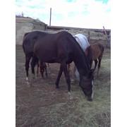 Лошади чистокровные верховые фото