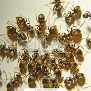 Уничтожение муравьев, дезинсекция фото