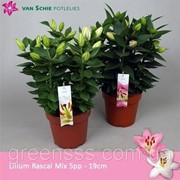 Лилия OR (ориентальный гибрид) -- Lilium OR фото