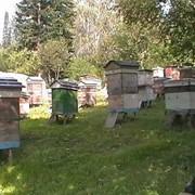 Продам пчелопакеты фото