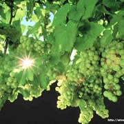 Виноград столовые сорта фото