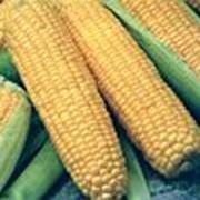 Семена кукурузы Андреа F1 фото