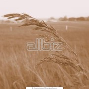 Сортировка семян зерновых культур фото