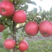 Саженцы яблони Чемпион Рено фото