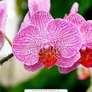Орхидеи в горшках фото