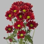 Хризантема кустовая Red Star фото