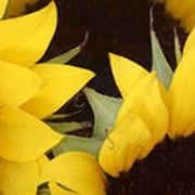 Семена подсолнечника АРАКАР (евро-лайтинг) фото