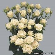 Роза кустарниковая Olesya фото