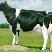 Скот крупный рогатый взрослый молочного стада фото