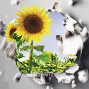Насіння соняшника Сингента NK DOLBI, п.о. фото