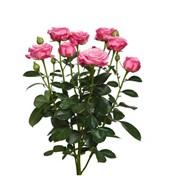 Роза-спрей Lady Bombastic фото