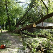Спил деревьев, удаление деревьев, вырубка кустов (Киев, Киевская область) фото