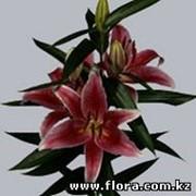 Лилии Or Mero star фото