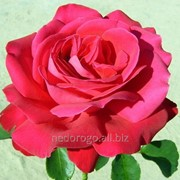 Роза чайно-гибридная Дам дэ Кюр (саженец с ЗКС) фото