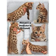 Продам бенгальских котят фото