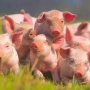 Продажа свиней живым весом фото