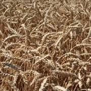 Пшениця озима ГРАЦИЯ фото