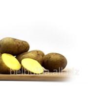 Картофель семенной сорт Кроне Элита фото