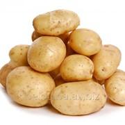 Картофель посевной Тоскана Элита фото