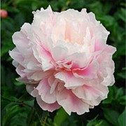 Пион молочноцветковый Монинг Кисс (Morning Kiss), 10л. горшок. фото