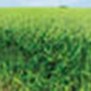 Озимая пшеница сорт Волжская 100 фото