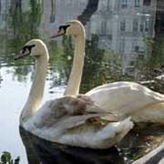 Птицы водоплавающие фото