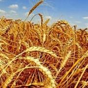 Пшеница продовольственная 3,4 класс фото
