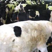 Лечение персистенции и кисты желтого тела коров фото