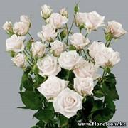 Роза кустарниковая Muscadet фото