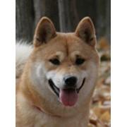Разведение собак породы Шибу фото