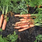 Морковь столовая фото