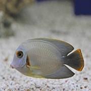 Рыба Хирург Mimic фото