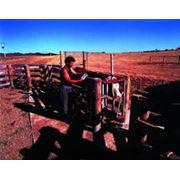 Весовые системы для животных для взвешивания всех видов сельскохозяйственных животных фото