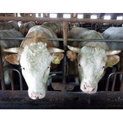 Ветеринарные препараты для крупного рогатого скота фото