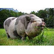 Ветеринарные препараты для свиней фото