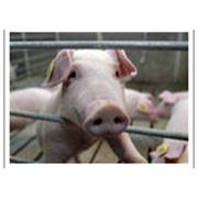 построение и реконструкция свиноферм в Украине изготовление и продажа оборудования для свиней по индивидуальному чертежу станки для опороси щелевые полы кормушки и кормороздатчики для свиней с Днепропетровска фото