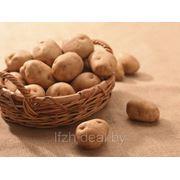Продажа картофеля по цене производителя фото