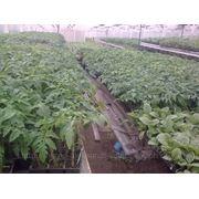 Саженцы-рассада томатов, перца, баклажан, капусты, клубники, земляники. фотография