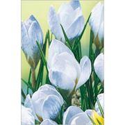Крокус ботанический Блю Перл фото