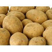 Картофель [сорт Алеся, размер 6+] фото