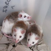 Кормовые крысята - Мастомис или Натальная крыса  фото