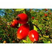 Плоды шиповника Шиповник фото