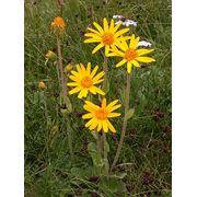 Арника горная цветы фото