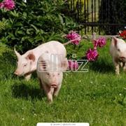 Усовершенствования существующих и создания новых пород, типов, линий свиней и их кроссов фото