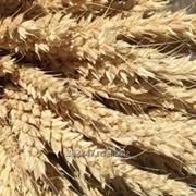 Семена озимой пшеницы Донская Степь, Гром, Табор, Таня, Безостая 100, Юка, Тимирязевка 150 фото