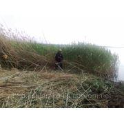 Покос камыша в Днепропетровске и области фото