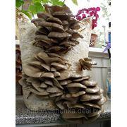 Грибные блоки вешенки .шиитаке.мицелий. фото